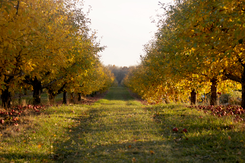 Fireside Orchard Apples in Southern Minnesota